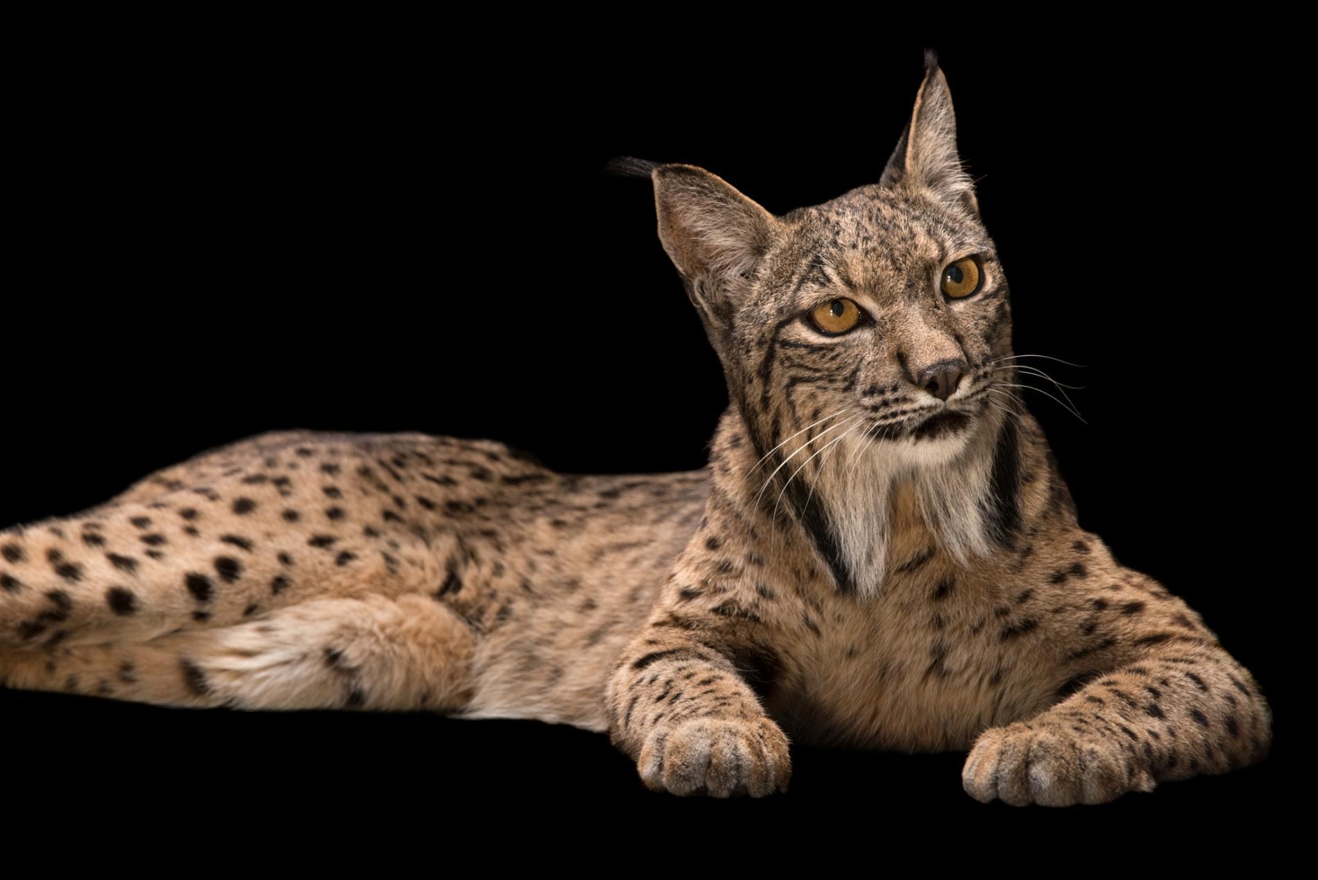Small Cats Iberian Lynx
