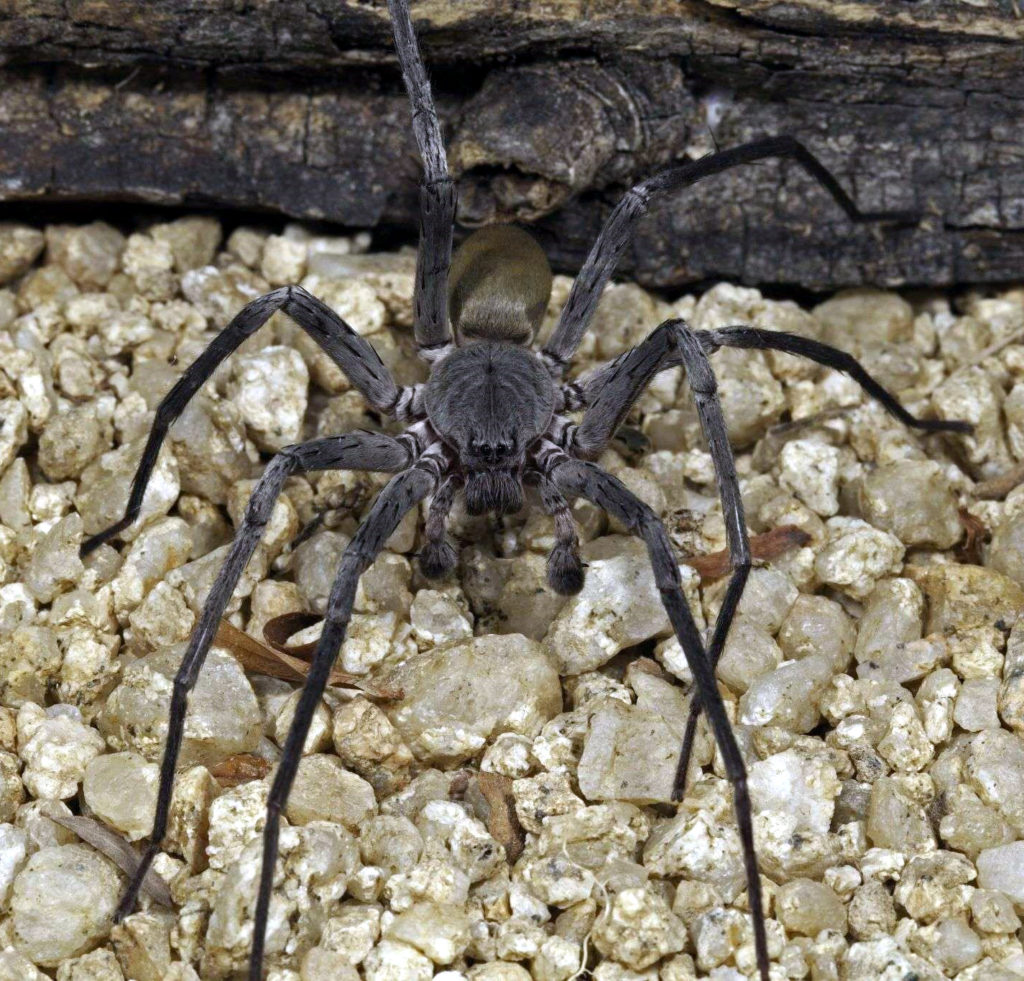 Califorctenus_cacachilensis giant spider lit
