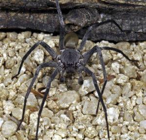 Califorctenus_cacachilensis giant spider lit
