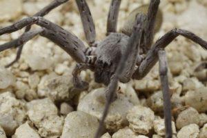 Califorctenus_cacachilensis giant spider