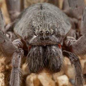 Califorctenus_cacachilensis giant spider face