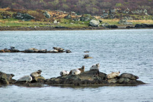 seals-loch-an-tsailein-islay-skerries