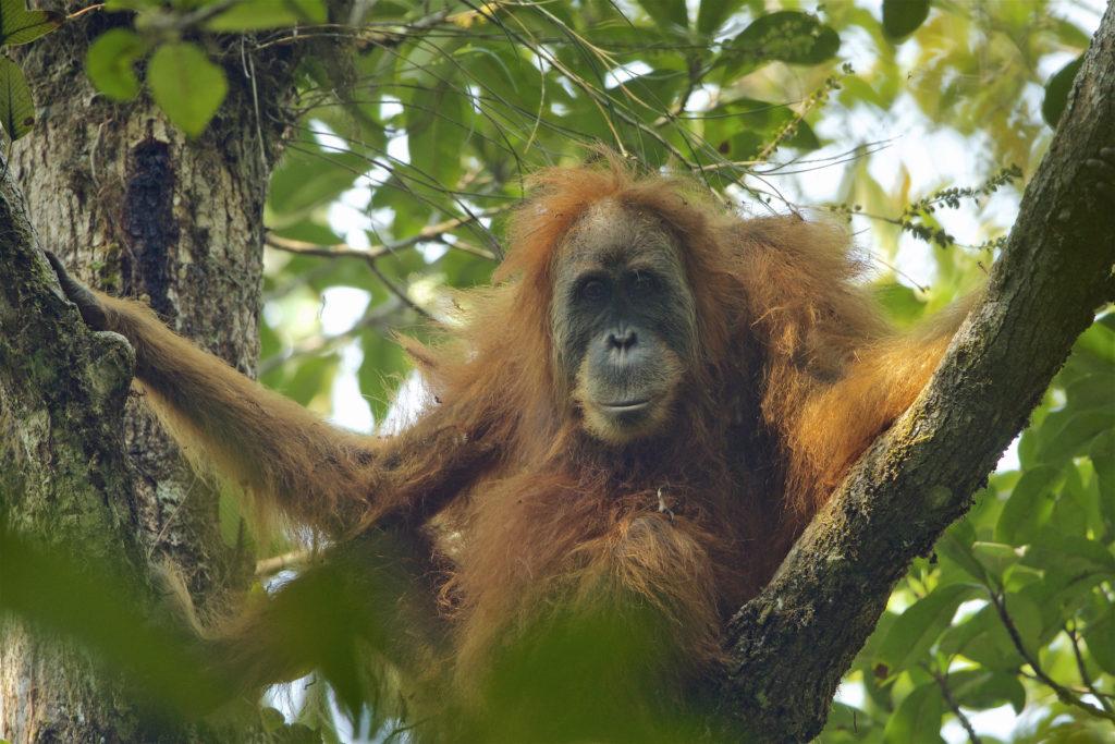 New Great Ape Species